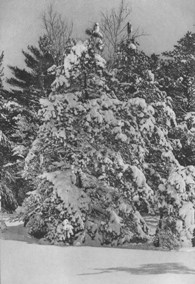 snow-laden-pitch-pines