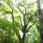American Elm tree on Bear Garden Hill