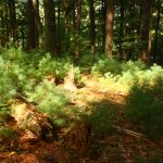Forest floor with small pine sprouts in a sun spot